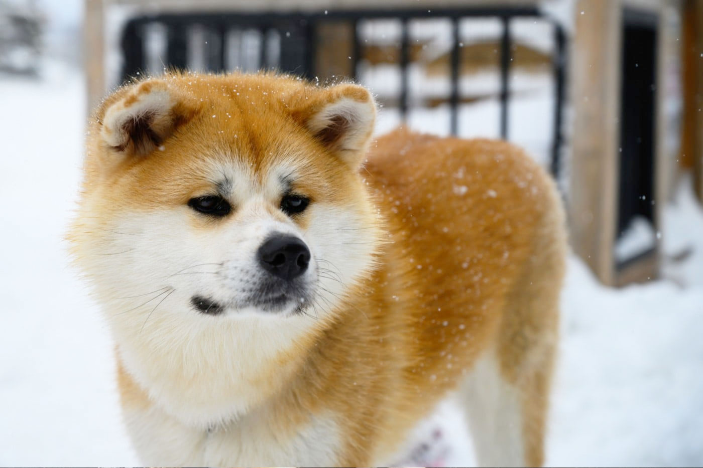 Meet Akita Dogs | Visit Akita | Recommended Things To do